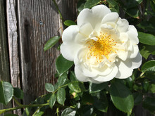Climbing Rose - Variety Is City Of York