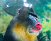 An Adult Mandrill In A Wildlif...