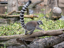 Cute Ring-tailed Lemurs Relaxi...