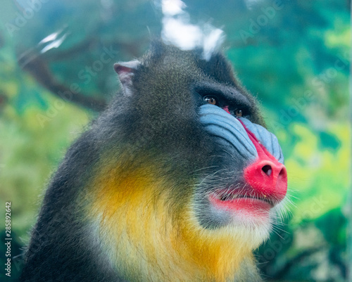 Papel de parede An adult mandrill in a wildlife park