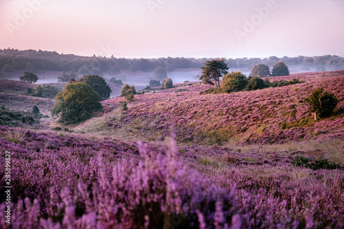 Posbank netherlands, misty foggy sunrise over the national park Veluwezoom Posbank Netherlands, heather flowers in blooming, purple hills