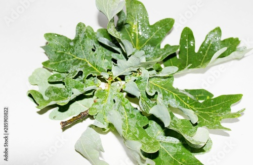 Printed kitchen splashbacks Roe Green oak leaves are located on a white background