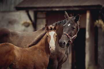 Portrait of a red foal and a brown mare with a white star on his forehead