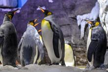 Penguins In Osaka Aquarium Kaiyukan, Osaka, Japan