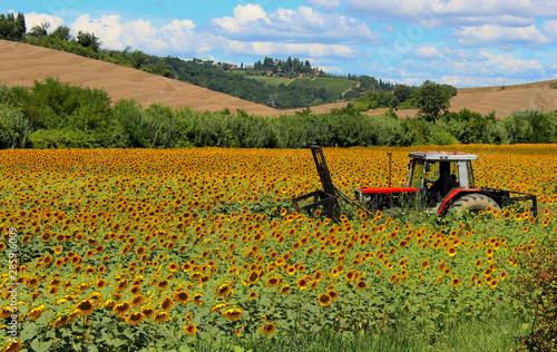 Fototapeta Campo di girasoli con trattore, in una giornata di sole.