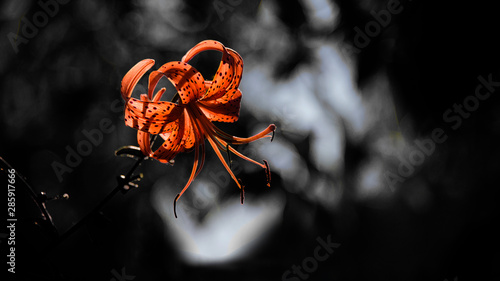 Tiger lily Canvas-taulu