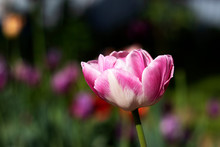 Pink Tulip Flower With White Veins Closeup In Nature. A Flower Grows In A Field.
