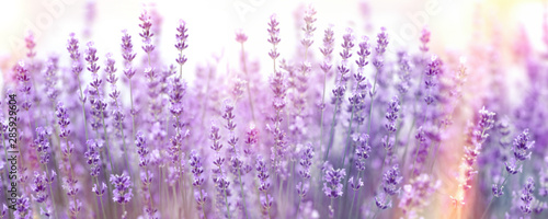 Fototapeta Selective and soft focus on lavender flower, lavender flowers lit by sunlight in flower garden obraz