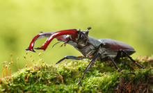 Stag Beetle Fighting Pose
