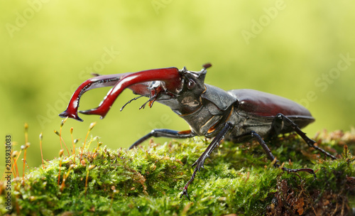 Tela Stag Beetle fighting pose