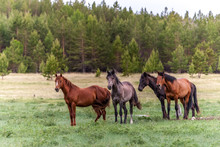 Four Horses On A Green Meadow ...