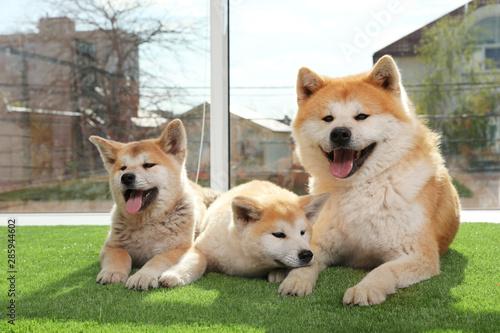 Obraz Adorable Akita Inu dog and puppies on artificial grass near window - fototapety do salonu