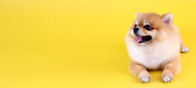 Pomeranian Dog With Yellow Backdrop.
