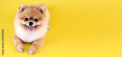 Obraz Pomeranian dog with yellow backdrop. - fototapety do salonu