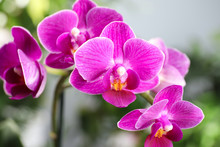 Beautiful Blooming Orchid On Blurred Background, Closeup View