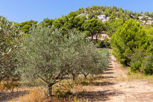 Olive Groves On The Sainte Vic...