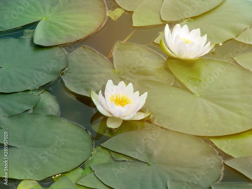 Obraz na plátně Water white flower in the sunlight
