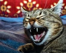 Yawning Gray Cat Lies On A Plaid