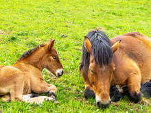 Ardennes Foal Reposing Next To...