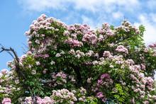 Huge Pink Rambler/climbing Ros...
