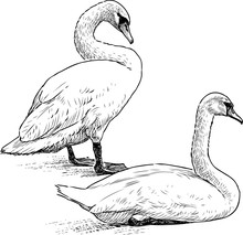 Sketch Of Pair Of White Swans Resting On Lake Shore