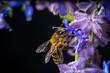 Honigiebe auf Lavendel Blüte