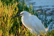 Snowy Egret During Sunset Clos...
