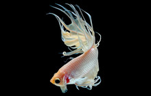 White Betta Fish, Siamese Figh...