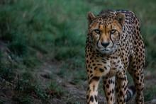 Portrait Of A Leopard Walking ...