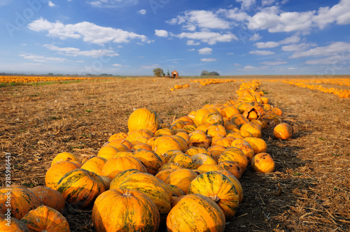 Numerous pumpkins lined up in a field #285986443