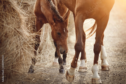 Carta da parati Red foal and a red mare eating hay.