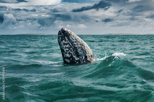 Photo Grey whale surfaces in Baja California on Mexico's Pacific coast