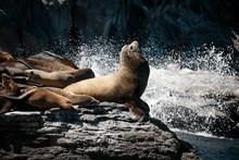 California Sea Lions (Zalophus...