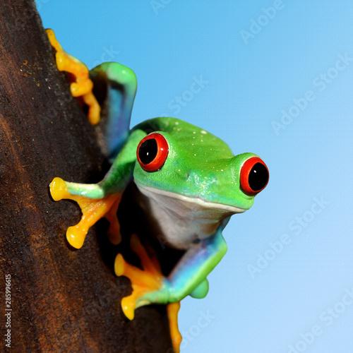Photo sur Toile Grenouille red-eye tree frog Agalychnis callidryas