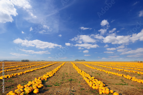 Pumpkin patch. Field full of pumpkins ready to harvest under picturesque cloudy sky. #285997053
