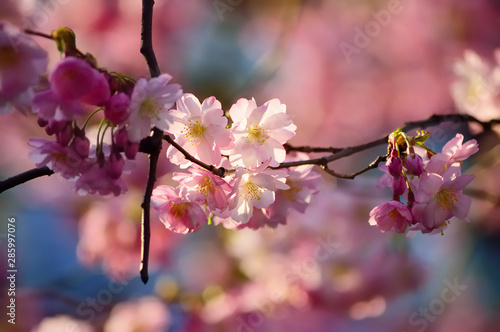 Blooming cherry tree branch on a blurred background #285997076