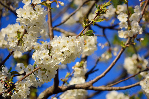 Branches of blooming apple tree against a clear blue sky #285997080