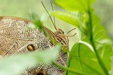 Macro Beautiful Butterfly Caligo Memnon