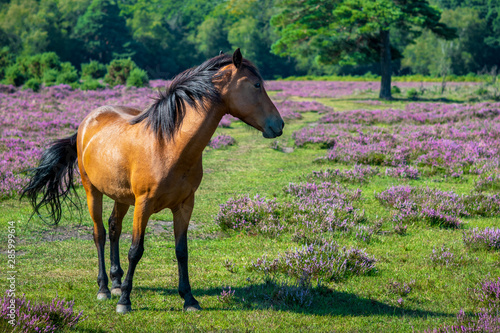 Papel de parede chestnut horse from the new forest