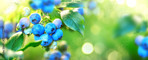 Blueberry plant. Fresh and ripe organic Blueberries growing in a garden. Healthy food. Agriculture. Wide screen