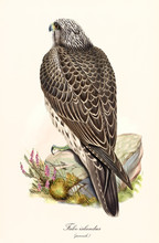 Back View Of A Bird Of Prey Standing On A Stone. Old Colorful And Detailed Isolated Illustration Of Gyrfalcon (Falco Rusticolus) Juvenile. By John Gould Publ. In London 1862 - 1873