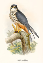 Little Bird Of Prey On A Branch After The Hunting. Old Colorful And Detailed Illustration Of Eurasian Hobby (Falco Subbuteo). By John Gould Publ. In London 1862 - 1873