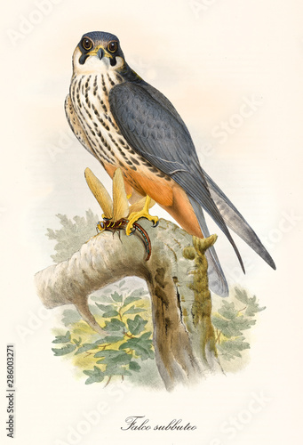 Little bird of prey on a branch after the hunting. Old colorful and detailed illustration of Eurasian Hobby (Falco subbuteo). By John Gould publ. In London 1862 - 1873 Fotomurales