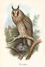 Owl Standing On A Branch, Guarding Its Nest With Its Sons Inside. Old Colorful And Detailed Vintage Illustration Of Long-Eared Owl (Asio Otus). By John Gould Publ. In London 1862 - 1873