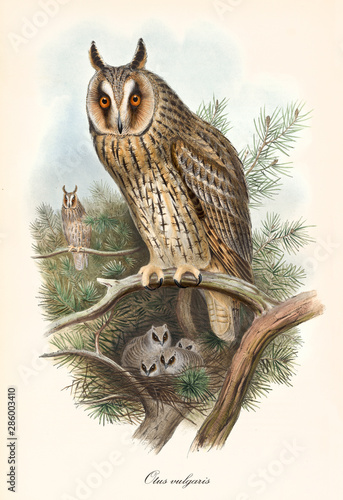 Photo Stands Owls cartoon Owl standing on a branch, guarding its nest with its sons inside. Old colorful and detailed vintage illustration of Long-Eared Owl (Asio otus). By John Gould publ. In London 1862 - 1873
