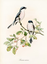 Couple Of White And Bluish Birds On A Single Isolated Branch Rich Of Leaves And Berries. Old Colorful Illustration Of Lesser Grey Shrike (Lanius Minor). By John Gould Publ. In London 1862 - 1873