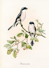 Couple Of White And Bluish Bir...