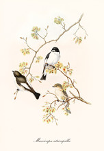 Three Little Cute Birds On A Single Thin Branch Isolated On White Background. Old Illustration Of European Pied Flycatcher  (Ficedula Hypoleuca). By John Gould Publ. In London 1862 - 1873