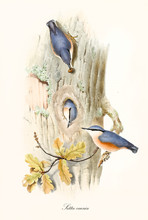 Three Little Cute Birds On A Trunk With A Hole In The Center That Is Their Den. Old Colorful And Detailedillustration Of Eurasian Nuthatch (Sitta Europaea). By John Gould Publ. In London 1862 - 1873