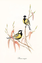 Two Little Yellow And Black Cute Birds On A Single Thin Branch With Buds And Flowers. Old Detailed Floreal Illustration Of Great Tit (Parus Major). By John Gould Publ. In London 1862 - 1873